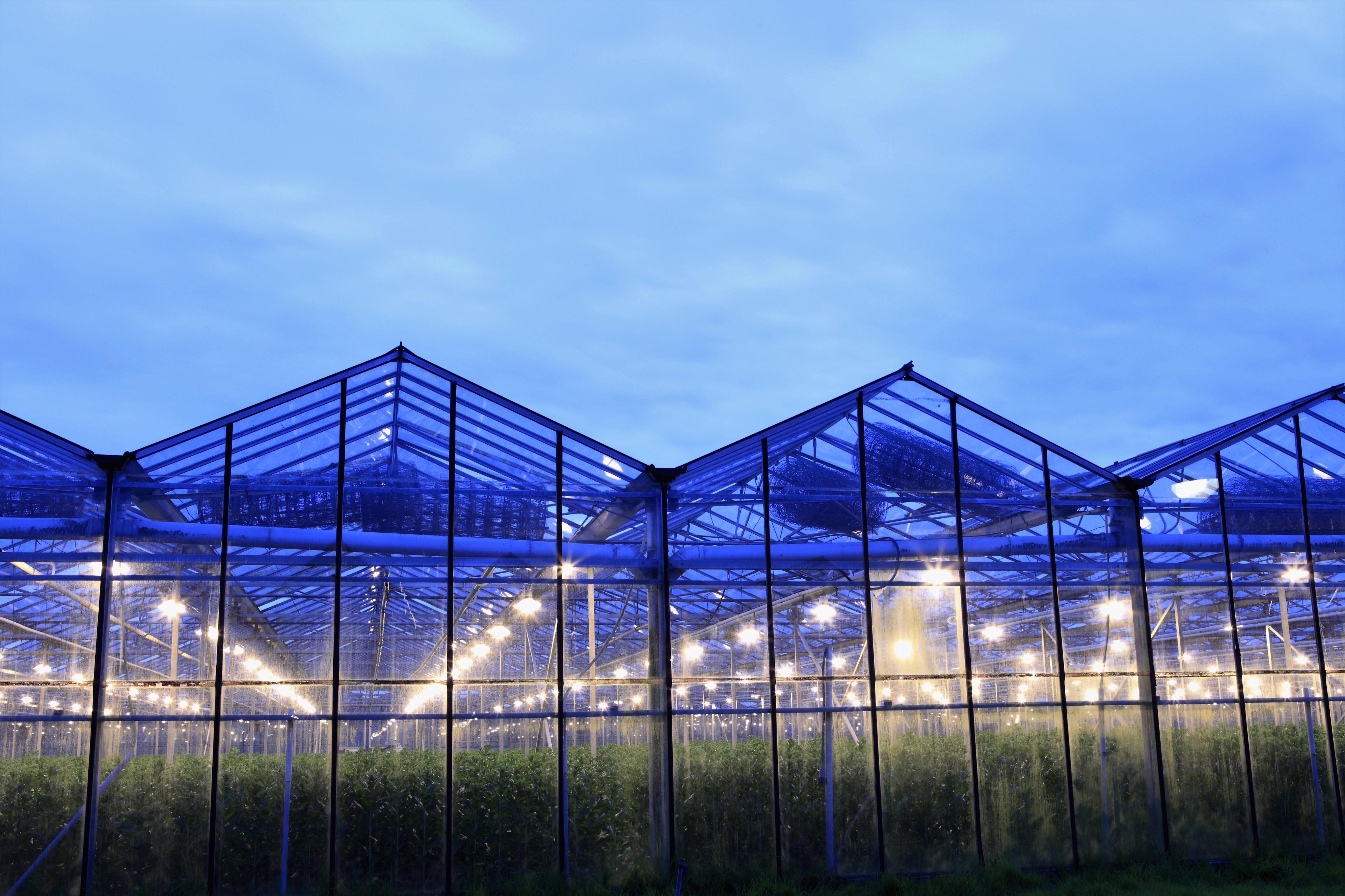 LED Lighting in a Horticulture Greenhouse